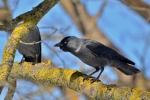 Kovārnis. Corvus monedula. Jackdaw.