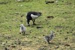 Baltvaigu zoss. Branta leucopsis. Barnacle goose.