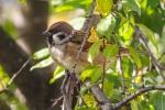 Lauka zvirbulis. Passer montanus. Tree sparrow.