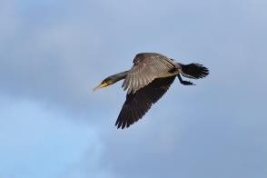 Jūras krauklis. Phalacrocorax carbo. Common cormorant.