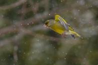 Zaļžubīte. Carduelis chloris. Greenfinch.