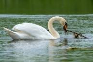 Paugurknābja gulbis. Cygnus olor. Mute swan.