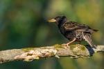 Mājas strazds. Sturnus vulgaris. Common starling.