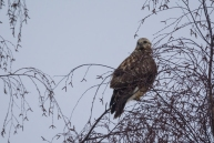 Bikšainais klijāns. Buteo lagopus. Rough-legged buzzard.