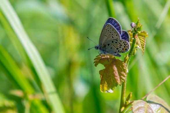 Zileņu zilenītis. Plebejus optilete. Cranberry Blue.